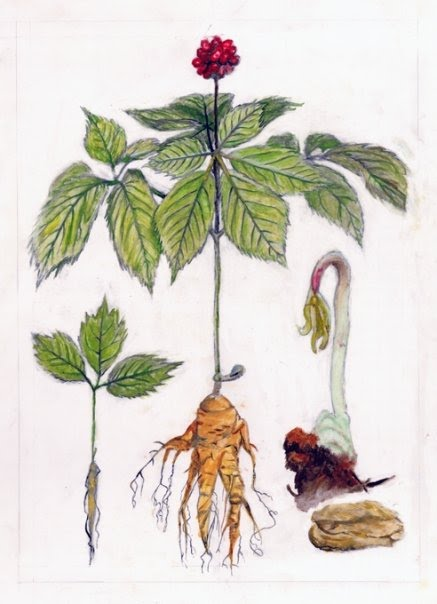 American Ginseng Drawing de Materia Medica Archive